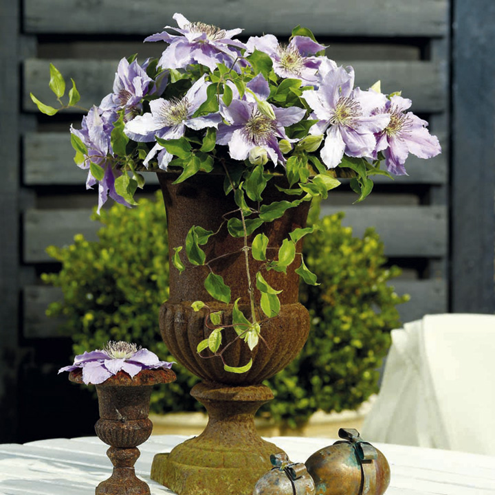 Clematis Flora Twin Pack - Filligree and Bijou