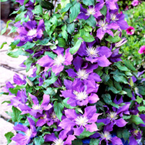 Clematis Plants - Collection
