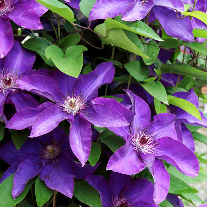 clematis plant the president suttons seeds and plants. Black Bedroom Furniture Sets. Home Design Ideas