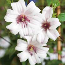 Clematis Plants - Princess Kate