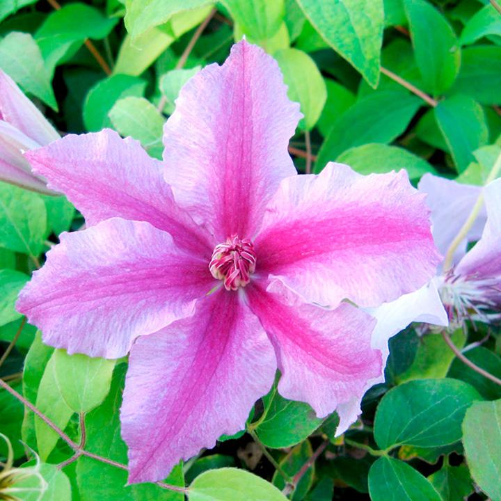 Clematis Plant - Ooh La La