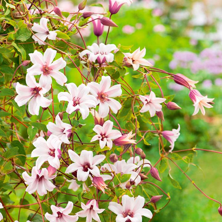 Clematis texensis Plant - Princess Kate