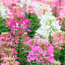 Cleome Seeds - Fireworks Mix