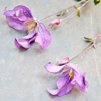 Clematis Amazing®™ Plant - Rome