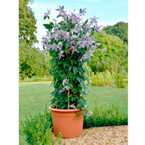 Clematis Amazing®™ Plant - London