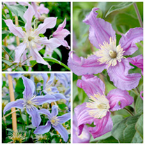 Clematis Amazing Plants - Collection