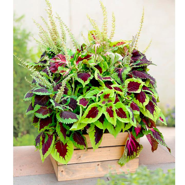Coleus Plants - Kong