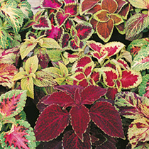 Coleus Seeds - Wizard Mix