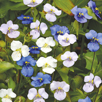 Attractive strap-like leaves with flowers in shades of blue, lilac and white. Height 40cm (16). TP Tender perennial. (An easy to grow ornamental peren