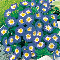 Take refuge from the summer heat in the soothingly cool blue, white centred, flowers of Blue Ensign. It makes a superb ground cover. Easy to grow. Lar