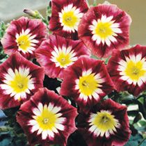 Bright, carmine red flowers throughout the summer. Flowers Mid June-September. Attractive to bees. Height 30cm (12). Easy to grow. Large flowers all s