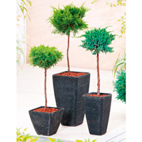 Conifer Plant - Chamaecyparis Filifera Aurea