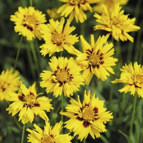 Coreopsis Plant - Rising Sun
