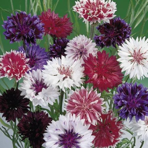 Cornflower Seeds - Frosty Mix