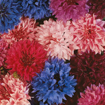 Cornflower Seeds - Tall Tutu Mix