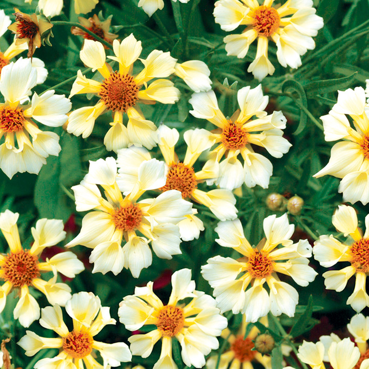 Coreopsis Pin Wheel (3) 1ltr