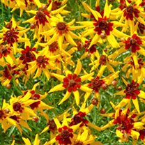Narrow-petalled, star-shaped flowers in a festive mix of red and golden-yellow. The heat-tolerant plants produce masses of long-lasting blooms through