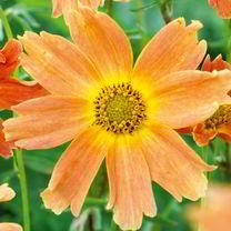 Coreopsis Plant - Sweet Marmalade