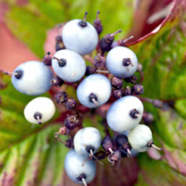 Cornus alba Plants