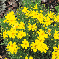 Coreopsis Plant Collection