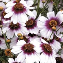 Coreopsis Plants - Sweet Dreams