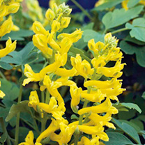 Corydalis Plant - Canary Feathers