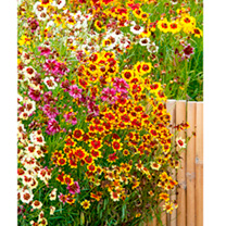 Coreopsis Plants - Incredible Mix
