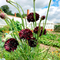 Sensational dark blooms, almost black in some lights, make this a truly stunning cornflower. Flowers July-August, June-July (Yr2). Height 75cm (30). A