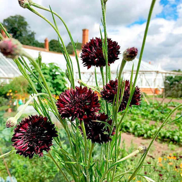 Cornflower Seeds - Black Ball