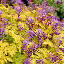 Corydalis Plant - Berry Exciting