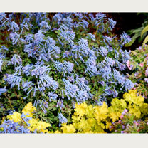 Purple-bronze, cut leaf foliage sets a great stage for clear blue, tubular, scented flowers on short stems. Flowers through spring and summer. Height