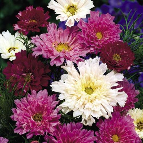 Cosmea Seeds - Double Click