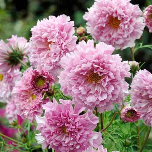 Cosmea Seeds - Rose Bonbon