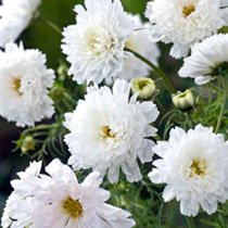Cosmos Plant - White Knight
