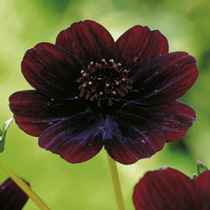 Cosmos Plant - Chocolate