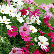 Cosmos Plants - Mixed