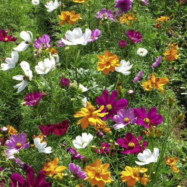 Cosmea Seeds - Feng Shui Mix