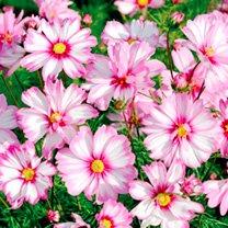 Cosmos Plants - Capriola