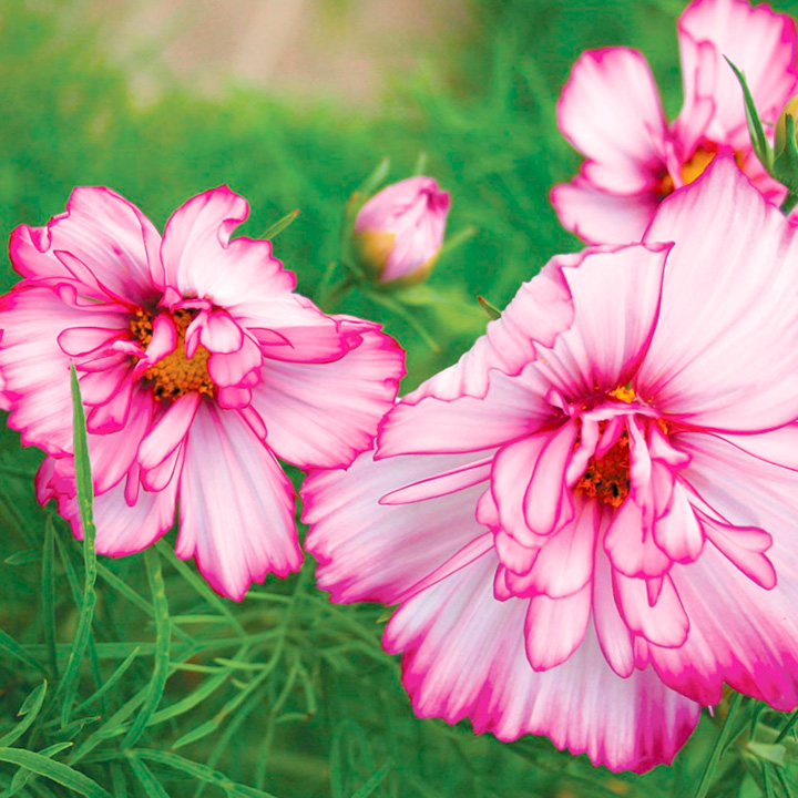 Cosmos Plants - Double Take