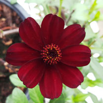 Cosmos Plant - Chocolate