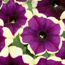 Crazytunia Plants - Goodnight Kisses