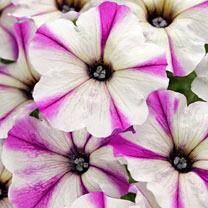 Crazytunia Plants - Maniac Lilac