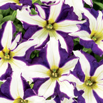 Crazytunia Plants - Starlight Blue
