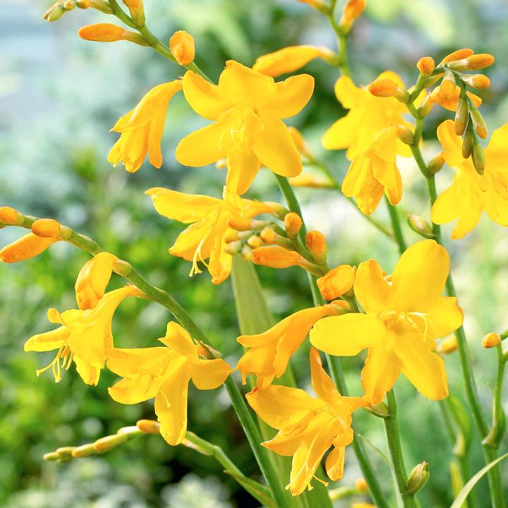 Crocosmia Plant - Buttercup
