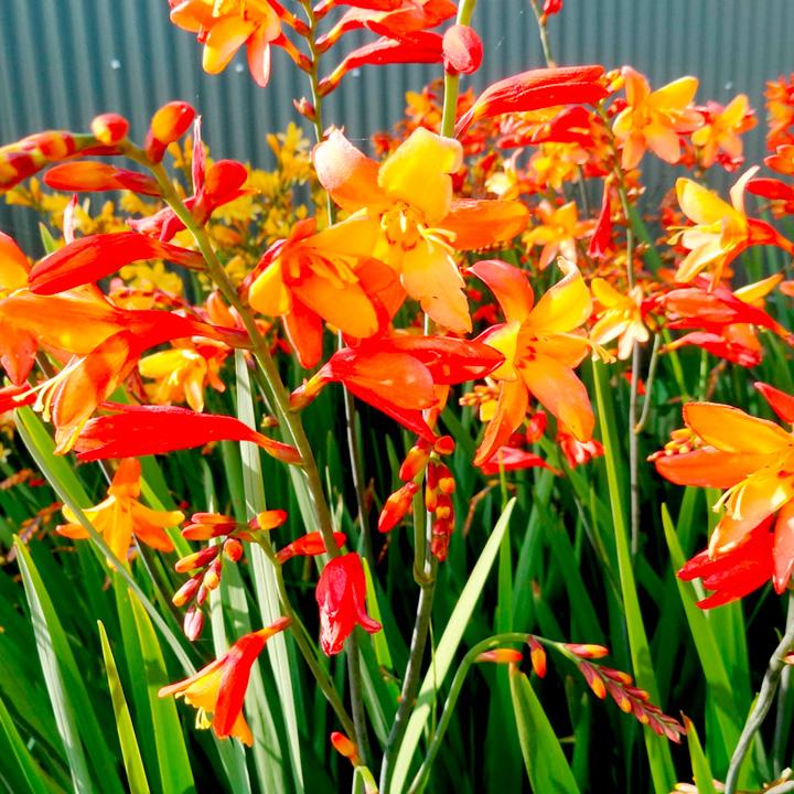 Crocosmia Plant - Orange Pekeo