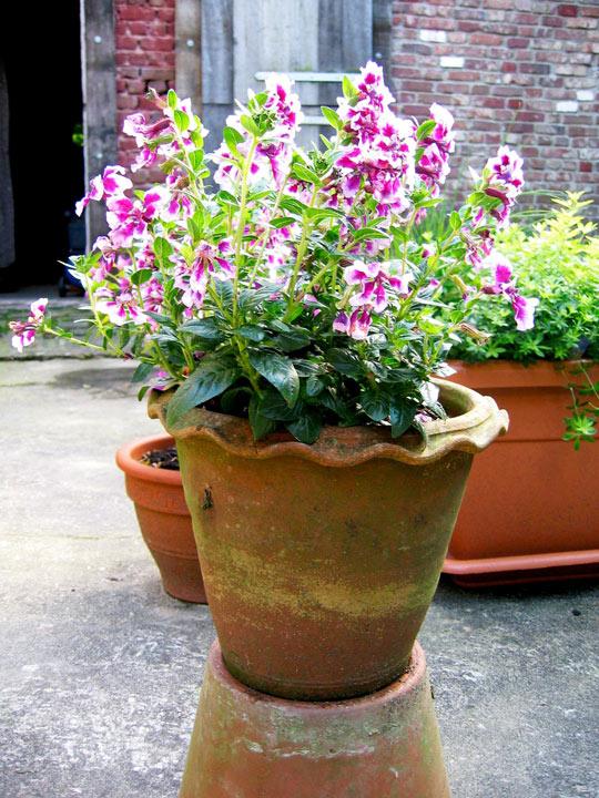 Cuphea Plants - Vienco Lavender