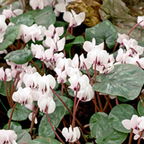 Hardy plants that will thrive in borders or containers, in full or dappled shade. Flowers autumn to spring. Height 15-25cm. Bulb size 8cm+. (Bulb size