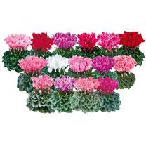 Cyclamen Halios Plant - Winter Mix
