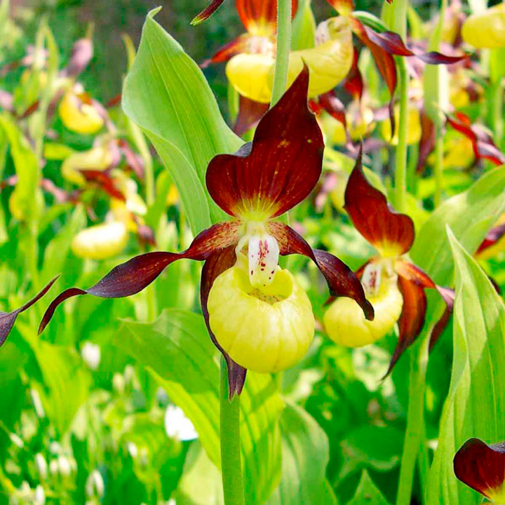 Orchid Cypripedium calceolus