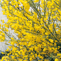 Cytisus Plant - All Gold